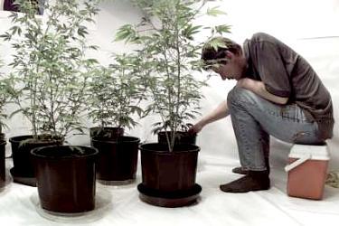 Выращивание конопли в домашних условиях.
