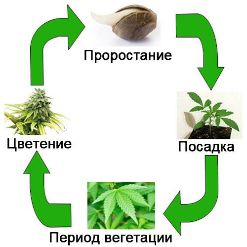 Жизненный цикл конопли