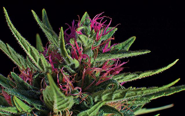 Сорт Silver Haze pink