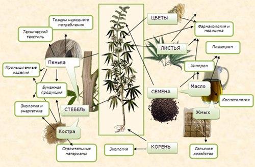 cannabis факты