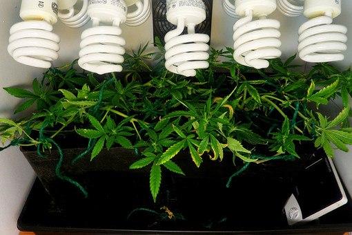 Проращивание семян конопли