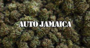 сорт auto jamaica