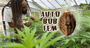 Auto Bob feminised