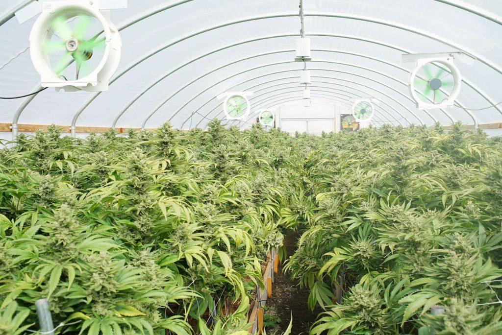 Переработка технической марихуанны