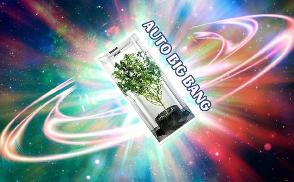 Auto Big Bang Divine Seeds