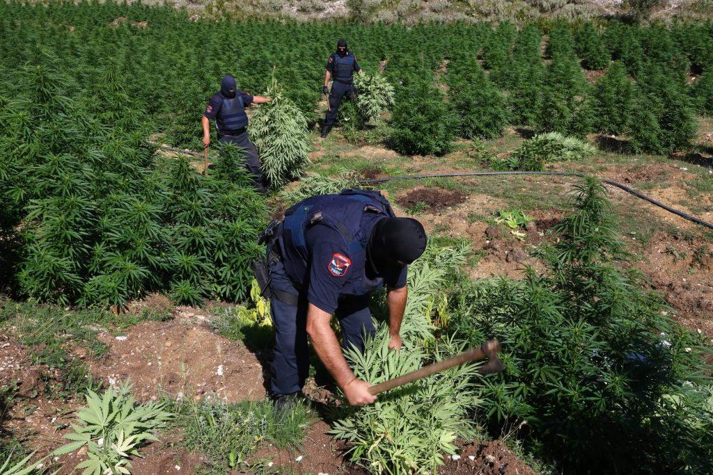 Ликвидация растений каннабиса сотрудниками полиции