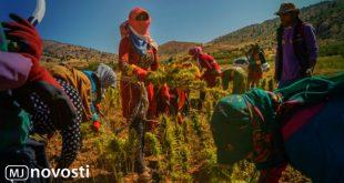 ливанские поля марихуаны