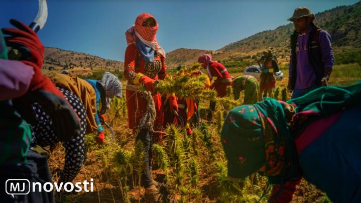 сбор урожая марихуаны в Ливане