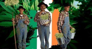 легализация марихуаны в Ирландии