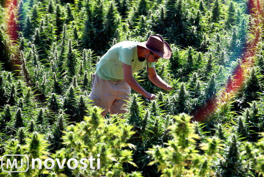 марихуана в Европе
